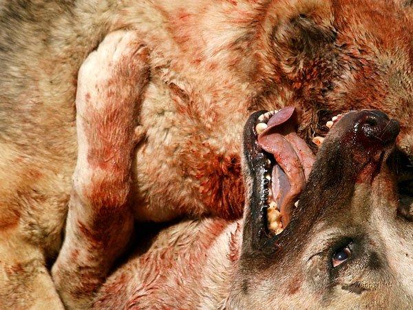 Афганская народная забава - собачьи бои!
