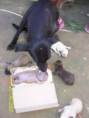 Родила собака в ночь то ли сына, то ли дочь (не для слабонервных!)