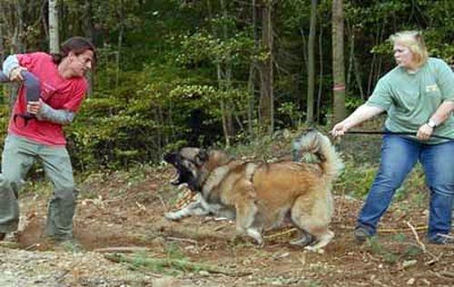 Дрессировка Кавказской овчарки (14 фото)