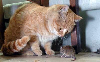 Кошка поймала раненую мышь и...