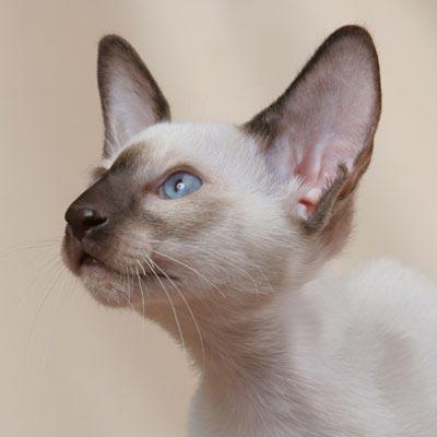 О происхождении сиамской кошки