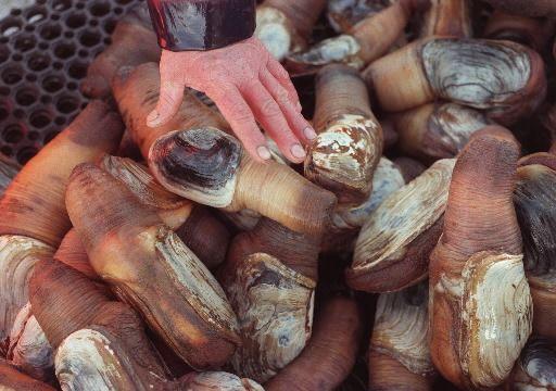 Самый большой моллюск