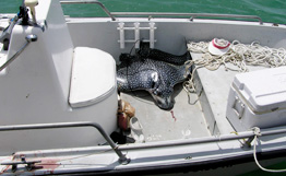 Гигантский скат убил американскую туристку