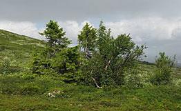 Шведские ученые нашли ель, которой почти 8000 лет
