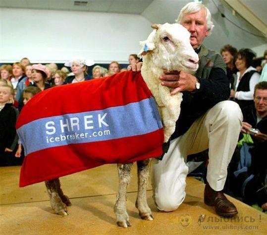 Посмотрите, что с этой овцой будет дальше (4 фото)