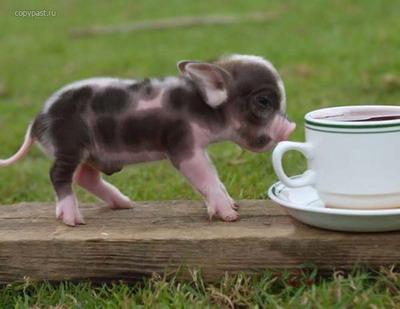 Карманные свинки