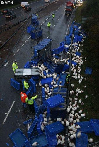 3000 кур вышли на дорогу