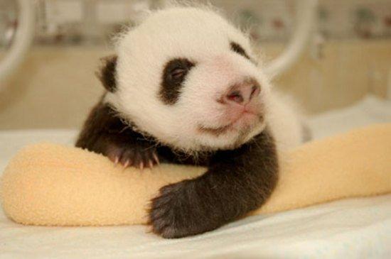 Как растет панда!