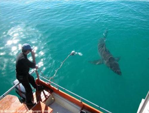 Удивительная история акульей любви