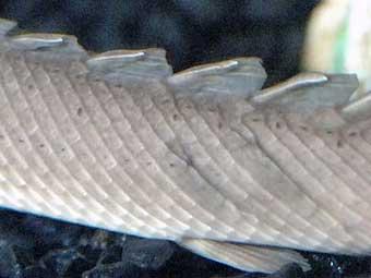 Пентагон скопирует с древней рыбы лекала для суперброни