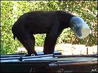 Медведя с банкой на голове пришлось застрелить
