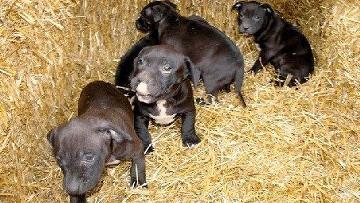 Первое клонирование за деньги: американка получила копии любимого пса