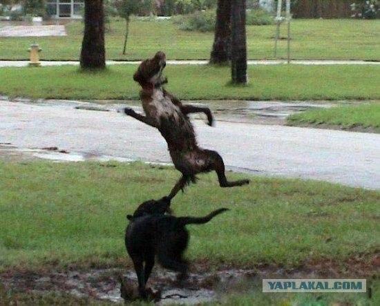 Собачий рестлинг в грязи. ЖЕСТЬ!