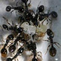 Восстание муравьиных рабов