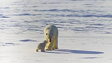 Белым медведям угрожает быстрое таяние арктических льдов