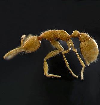 В джунглях Амазонии найден уникальный муравей