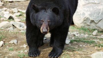 Бурый медведь погиб в ереванском зоопарке из-за детского мяча