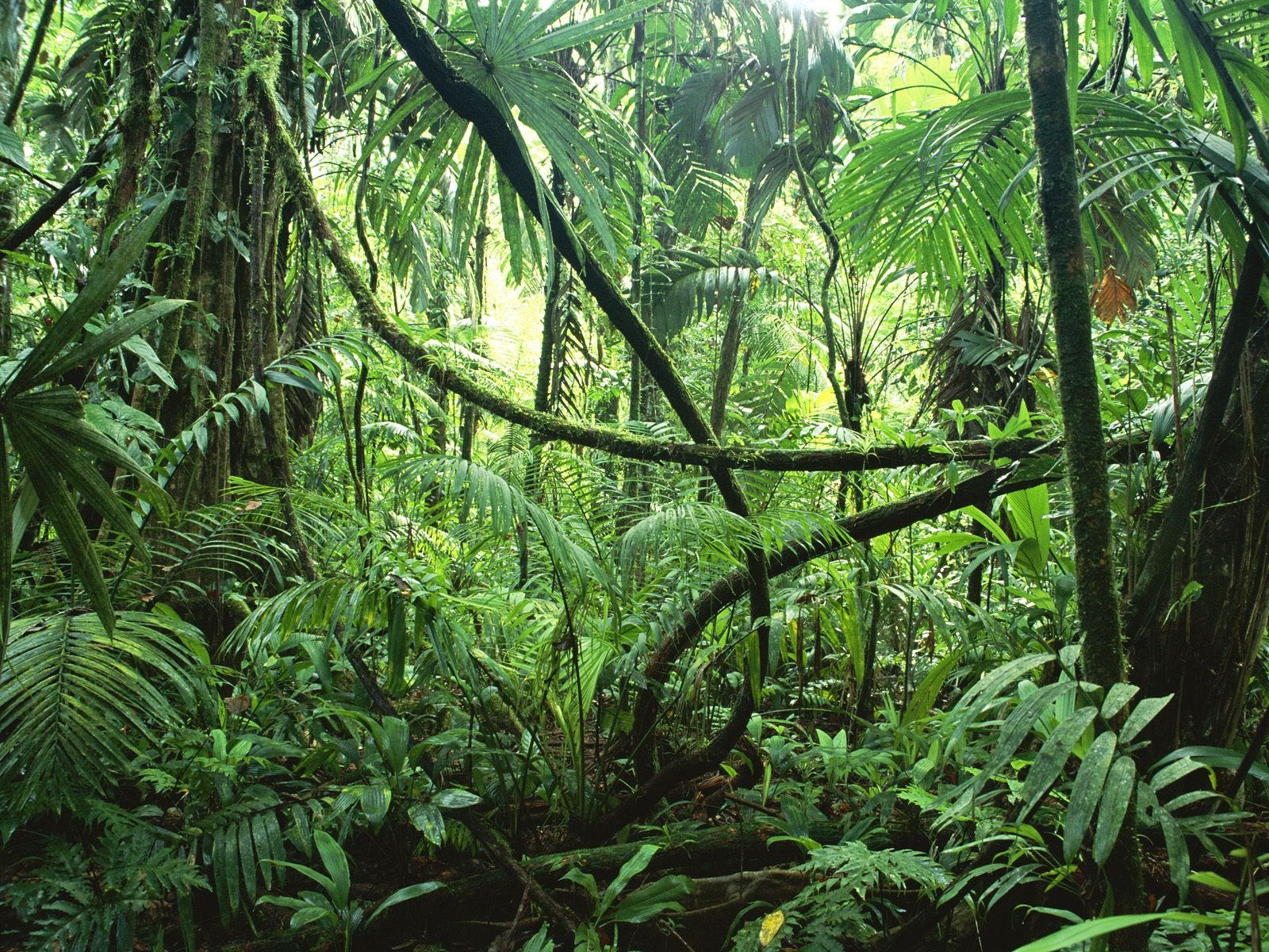 http://banana.by/uploads/posts/1222369678_lianas_in_interior_of_lowland_rainforest_la_selva_biological_station_costa_rica.jpg