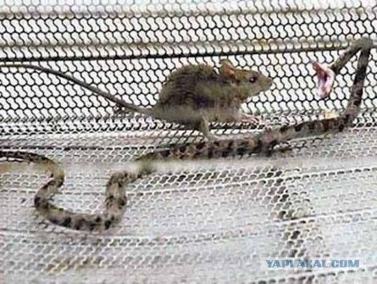 Мышка Vs Змея