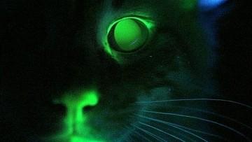 Американские ученые вывели светящуюся в темноте кошку