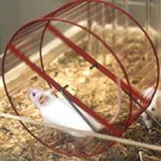 Таблетки от старости сделали мышей силачами и стайерами
