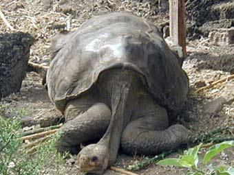 Последний самец галапагосской черепахи может остаться без потомства
