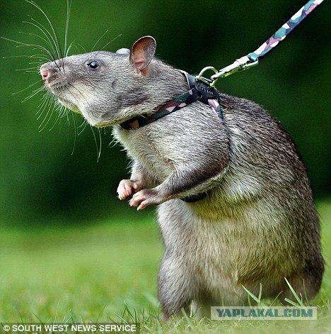 Крыса, спасающая жизни