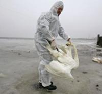 Так ли страшен птичий грипп, как его малюют?
