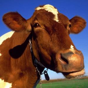 У коровы нет секретов