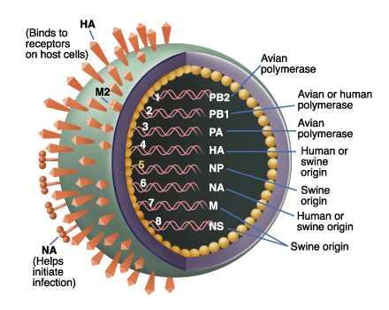 Что такое свиной грипп?