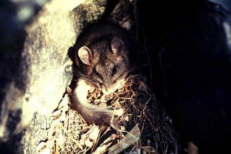 Крысы научились есть яд