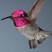 Колибри летают быстрее всех известных птиц