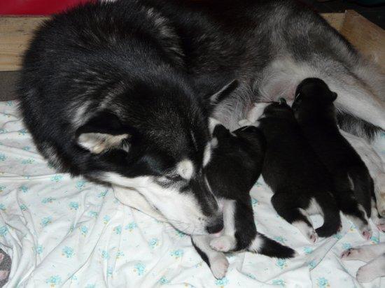 Аляскинские маламуты (фото)