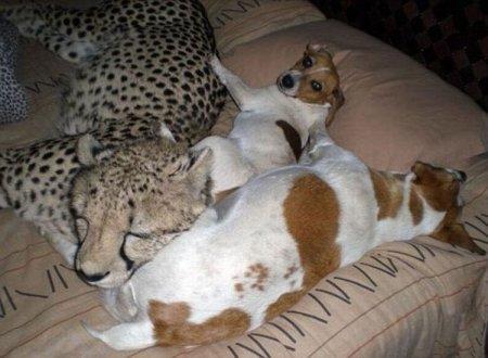 Живёт дома с 11-ю хищными кошками