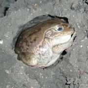 Многолетний сон лягушек