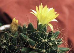 За разведение кактусов можно попасть в тюрьму