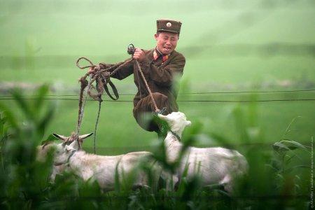 Корейский пастушок