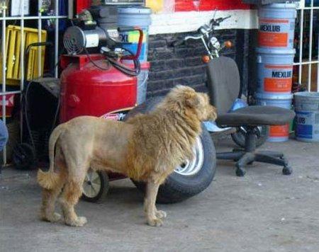 Собака или лев?