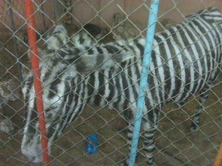 Ненастоящая зебра