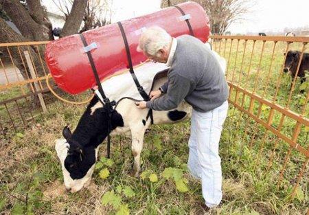 Потепление заставило коров собирать свой газ