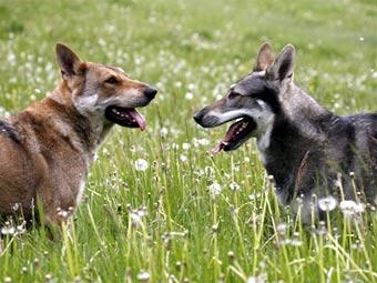 Хозяйка собак-волков ответит за смерть ребенка