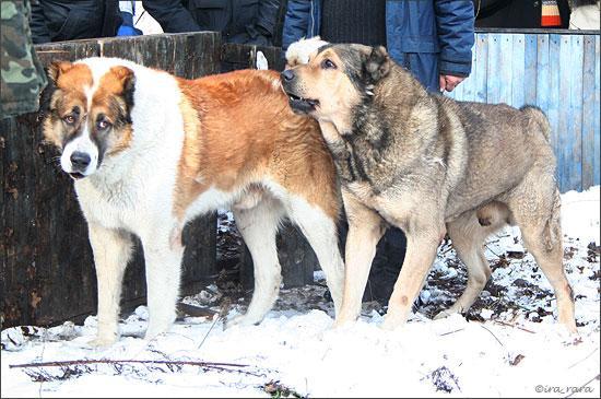 Собачьи бои: жесть!