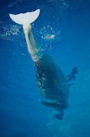 Первый дельфин с искусственным хвостом