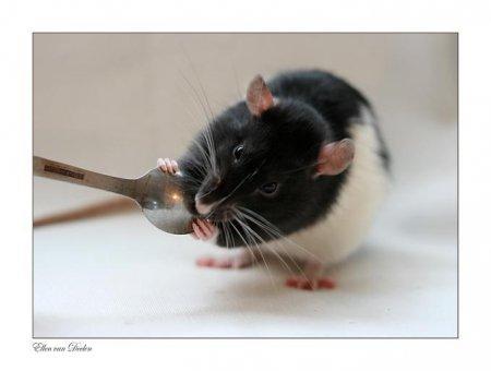 Крысятки