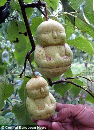 Груша в форме будды
