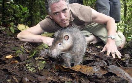 В Папуа — Новой Гвинее обнаружена 80-сантиметровая крыса неизвестного вида