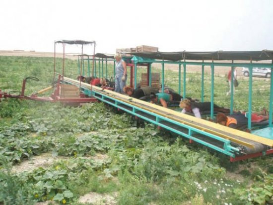 Комбайн по уборке огурцов в Беларуси