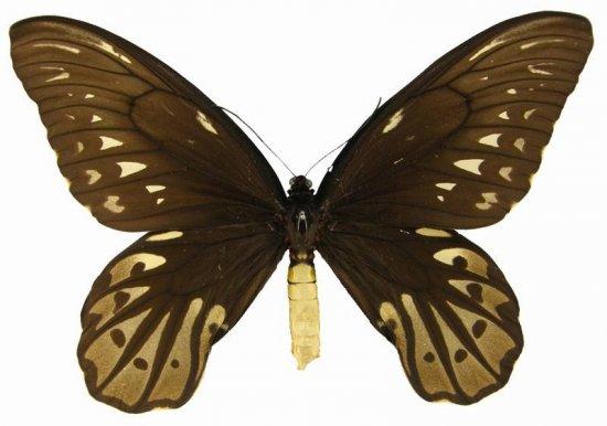 Самая редкая и самая крупная бабочка