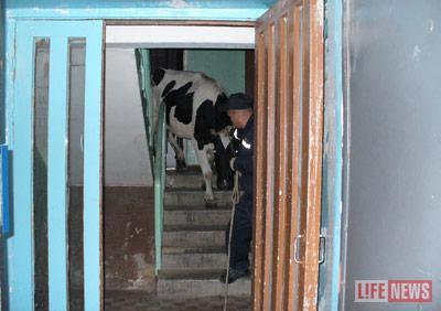 МЧС спускает корову с 9-го этажа