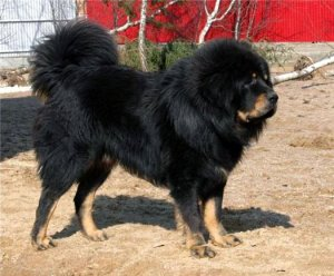 Самая редкая порода собак на Земле стала эксклюзивным аксессуаром для богатых
